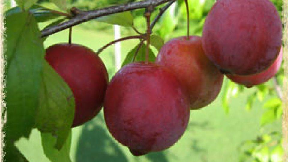 prunes-rouges